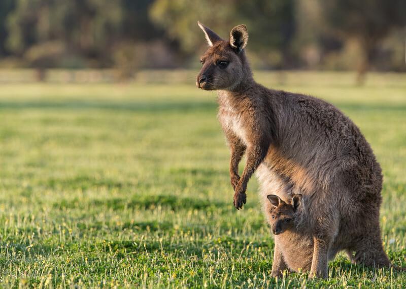 Sprachaufenthalt Australien, Volunteering - Native Wildlife