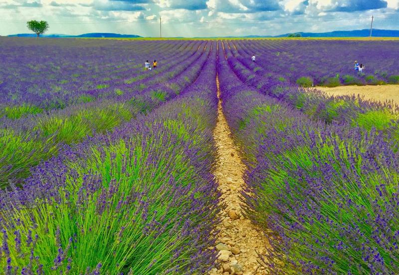Sprachaufenthalt Frankreich, Aix en Provence - Lavendel