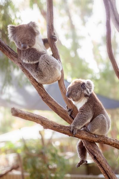 Two koalas sitting in a tree