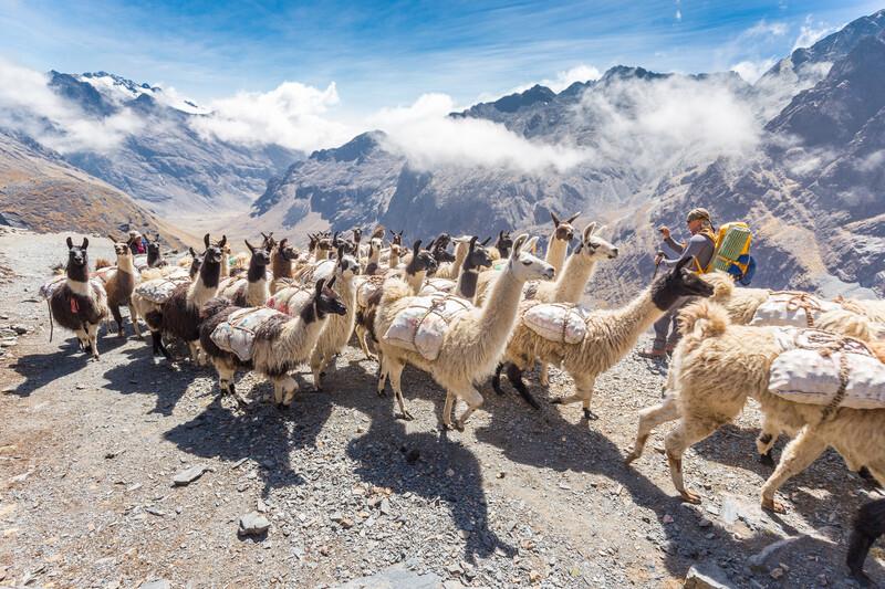 Séjour linguistique Bolivie, Lamas
