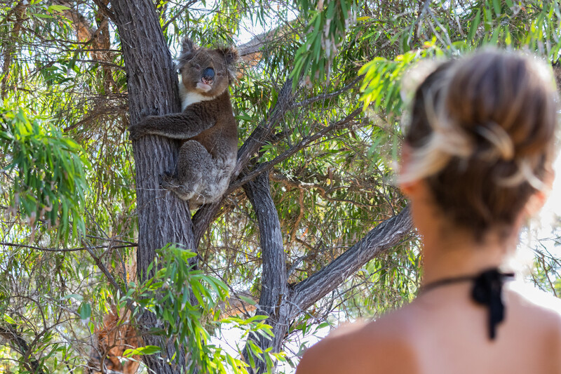 Séjour linguistique Australie, Koala