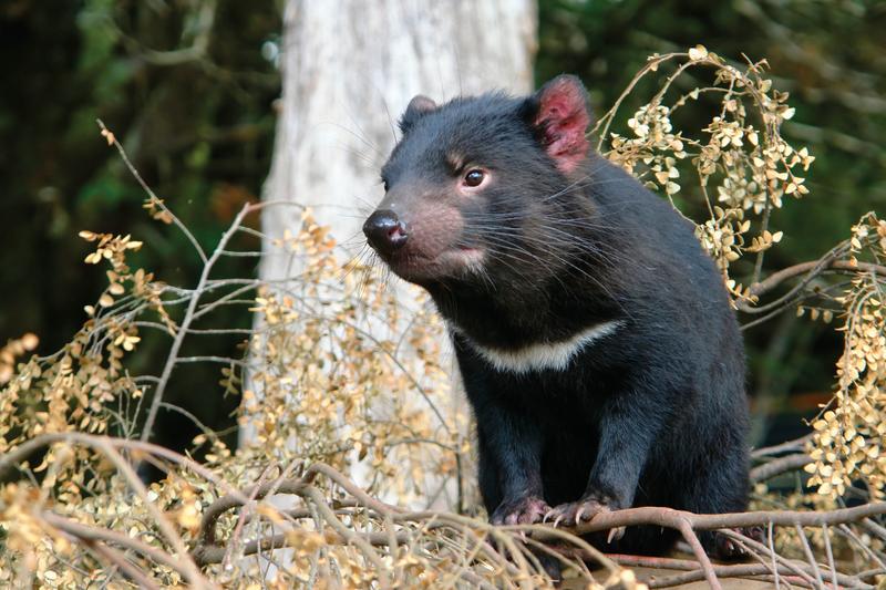 Séjour linguistique Australie, Tasmanie - Tasmanian Devil