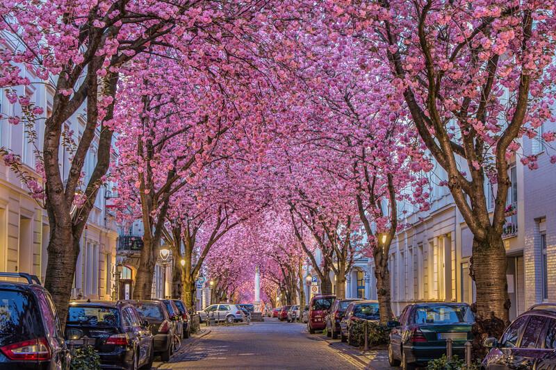 Sprachaufenthalt Deutschland, Bonn - Cherry Blossom