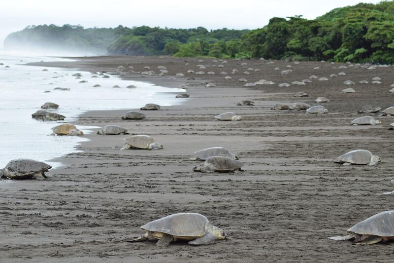 Sprachaufenthalt Costa Rica, Nosara - Playa Ostional