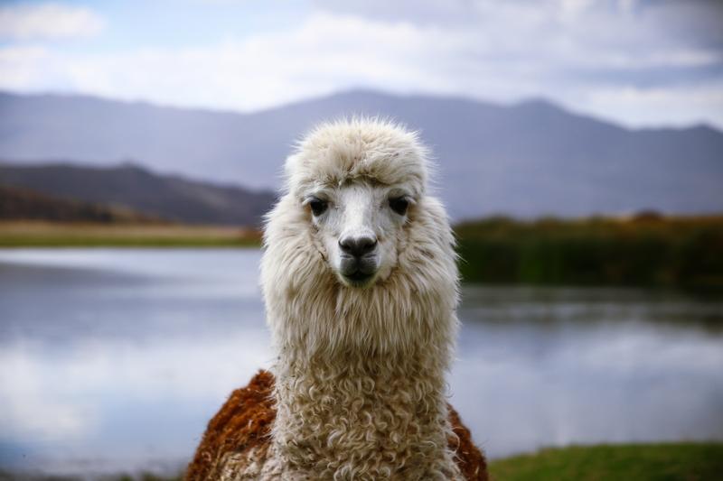 Séjour linguistique Pérou, Lama