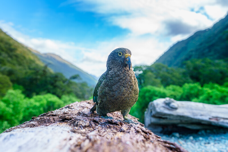 kea, mountain parrot on a tree trunk, southland, southern alps, new zealand